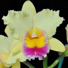(87-3) Orchid Mieko Araki Volcano Queen in a 3,5 inch Pot