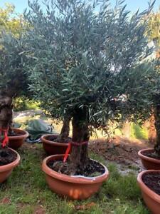 Bonsai Olivenbaum Olea Europaea 1,30-1,40 M- ca. 40-50 Jahre, INKLUSIVE VERSAND