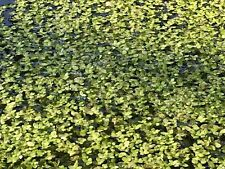 200g + Duckweed - Starter Culture Aquatic Floating Pond Water Plants 1000s