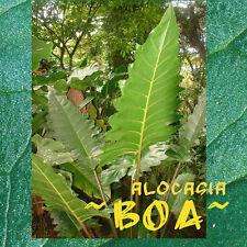 ~BOA~ Alocasia Serrated Emerald Leaf ELEPHANT EAR with SNAKESKIN STEM Sml Plant