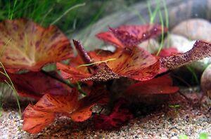 Red Tiger Lotus Nymphaea Live Bulb Aquarium Plant Tropical Lily - Easy Grow