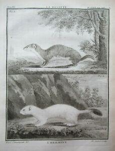 1758 Rare Ermine & Weasel Antique Print Animal Buffon Copper Engraving Quarto