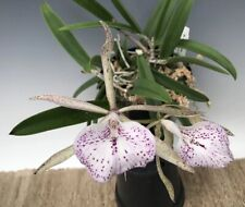 miniature Blooming size Bc Hippodamia Cattleya Fragrant Orchid plant Lb