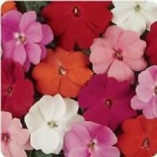 Flower - Impatiens - New Guinea - Divine Mixed F1 - 10 Seeds
