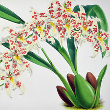 ODONTOGLOSSUM ANDERSONIANUM - 1888 HAND-COLORED FITCH / WARNER ORCHID