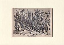 Antique matted print cacti cactus Cactaceae cactuses / Chihuahua Tarahumara 1861