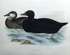COMMON SCOTER, DUCK, Beverley Morris original antique bird print 1855
