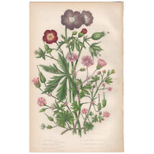 Anne Pratt antique 1860 botanical print Flowering Plants 54 Dusky Crane's-bill