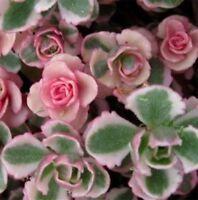 PINK SEDUM spurium variegatum cream & red succulent plant in 135mm pot