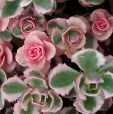 PINK SEDUM spurium variegatum cream & red succulent plant in 135mm pot