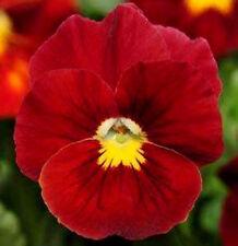 Red Pansy Seeds, Scarlet Viola Seeds, Red Pansies, Non-Gmo Heirloom Seed, 50ct