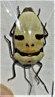 Pearl Man Face Bug Eucorysses grandis True Insect FAST FROM USA