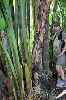 Wasserbambus schnellwüchsige mediterrane Pflanzen Teichpflanzen für den Teich