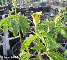Arisaema flavum. FS tubers. 4 - 5 cm diameter. New harvest 2020. (AROID)
