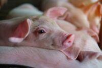 A1 | Cute Pink Piglet Poster Art Print 60 x 90cm 180gsm Pig Farm Fun Gift #8822