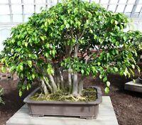 Bonsai i! FICUS BENJAMINI !i Zimmerpflanze Topfblume Wintergarten Terrasse Samen