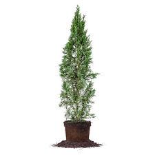 Italian Cypress, Live Plant, Size: 3-4 ft.