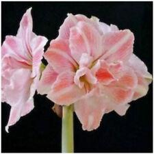 Double Amaryllis Bulbs Hippeastrum Flower Perennial Hardy Fragrant Gift Plants