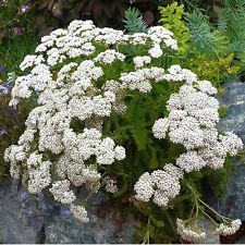 White Yarrow (Achillea millefolium) Non-GMO 500 Seeds from Moldova
