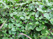 Malabar Spinach (Vine red Vegetable) Pack of 40 Finest Seeds,SVS-838