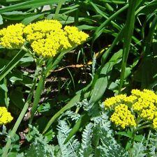 STATICE Gold Coast Seeds (F 498)