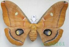 Antheraea polyphemus (Cramer, 1776) female ex. ovo USA 108mm3c