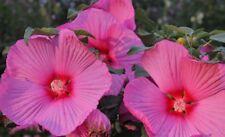 Eibisch100 Samen in lila und rose gemischt Hibiskus Malvengewächs