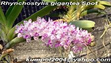 Orchid specie seeds: Rhynchostylis gigantea - Year 2017