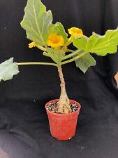Uncarina roeoesliana, caudiciform