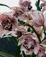 Cymbidium Downunder Dschungle ´Black Spots´ blühstarke Pflanze Japan Orchidee