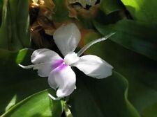 Kaempferia Galanga Linn Flower 5 bulbs Fresh Plants Free Phyto Document