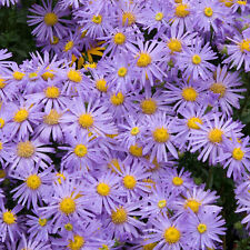 More details for aster monch bushy branching herbaceous perennial ornamental potted garden plant