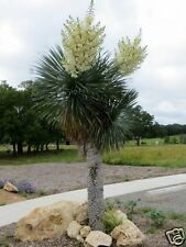 Soaptree Yucca Seed Very Drought & Frost Tolerant Evergreen Perennial Dry Conds.