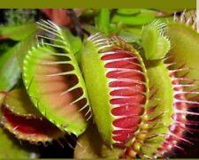 Venus Fly Trap Seeds, Dionaea Muscipula, Bonsai Carnivorous Plant Seeds