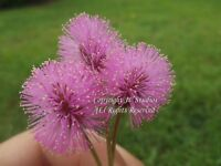 10 Seeds Tropical Ornamental Mimosa pudica Sensitive Plant Overstock Price