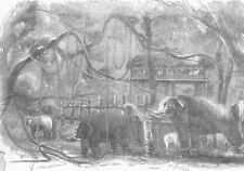 SOUTH AFRICA. Elephant Kraal, Island of Sri Lanka, antique print, 1851