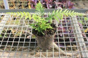 Dicksonia antarctica Tree Fern Young Plant in 9cm Pot x 3 Pots