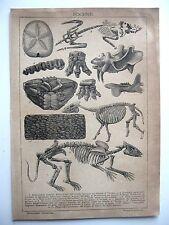 stampa antica old print GEOLOGIA PERIODO EOCENE FOSSILI ANIMALI 1890 C.