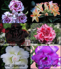 """NEW! ADENIUM  """"Mixed"""" SIX GRAFTED PLANTS RARE!!"""