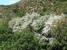 QUICK AL BIANCOSPINO hedging.crataegus MONOGYNA. - 25 Semi