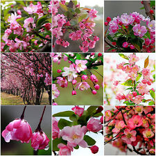 100X Rare Begonia Flower Seeds Garden Chaenomeles Speciosa Plant Bonsai Seed