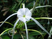 White Spider Lilies Hymenocallis~  Part of Amaryllis Family