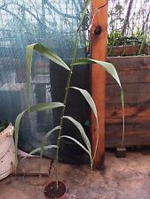 Arundo donax Rhizome