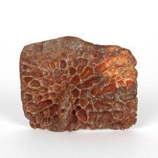 Dinosaur Era Fossil Crocodile Dermal Plate Scute *100% NATURAL*