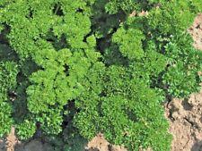 Plante Persil Bravour Bouclé - 1000 Semences