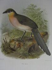c1880 PRINT KEULEMANS MADAGASCAR ~ RUNNING COUA BIRD