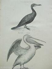 ANTIQUE PRINT C1880S ENGRAVING PELECANIDAE BIRDS CORMORANT PELICAN VINTAGE