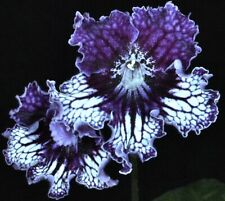 TSF-GISELE Streptocarpus Plant - IN BLOOM!  8-8