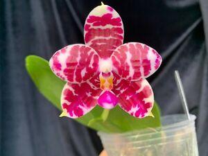Phalaenopsis KS Super Zebra 'Pylo' AM/AOS Fragrant exotic Novelty Phal in spike