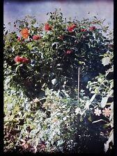 AUTOCHROME LUMIERE FLEURS DANS LE JARDIN 1912 PLAQUE VERRE PHOTO 13x18